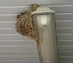 Il nido sulla plafoniera.